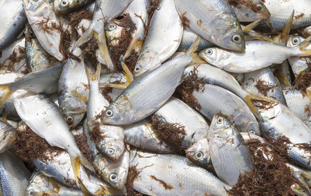 Freshly caught yellowtail fish in a pile on the beach.