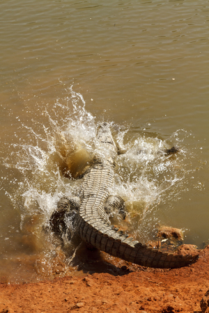 Alligator entering the water with a splash. Stock Photo