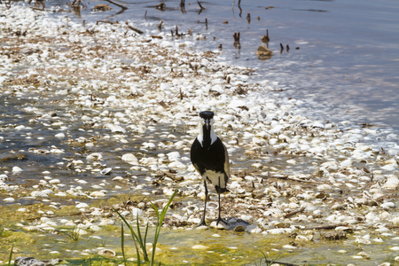Spur winged plover standing at the edge of a lake in Senegal.