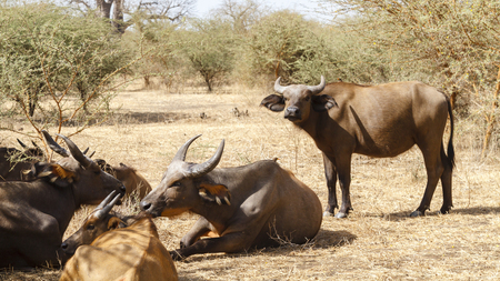 Wild buffalo resting in a national reserve in Senegal, Africa.