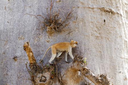 hussar: Patas monkey (Erythrocebus patas), or hussar monkey in a baobab tree in Senegal