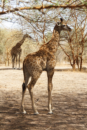 Cute baby giraffe in Senegal with the mother standing in the background.