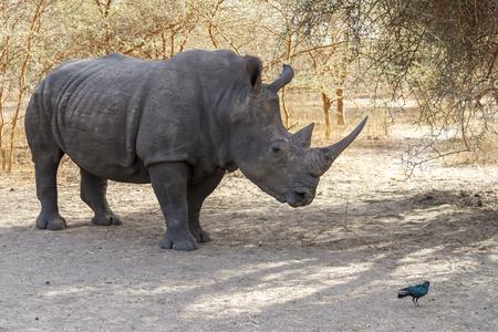 Wild rhino in Bandia national park in Africa.