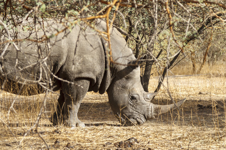 Wild rhino in the bush in a national park in Africa.