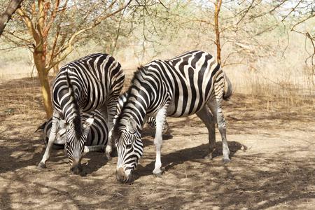 Zebras in the Bandia natural reserve in Senegal Stock Photo