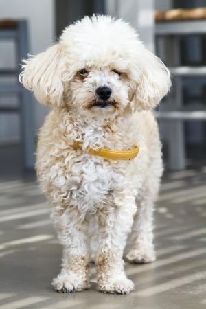 Portrait of Cute White Fluffy Maltese Dog