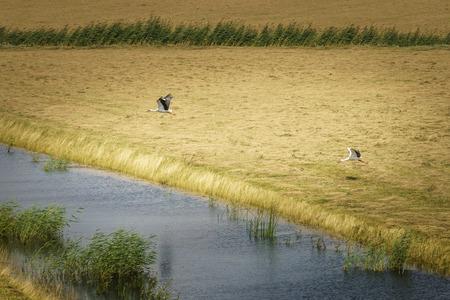 Storks in flight in the national park the Biesbosch in Dordrecht