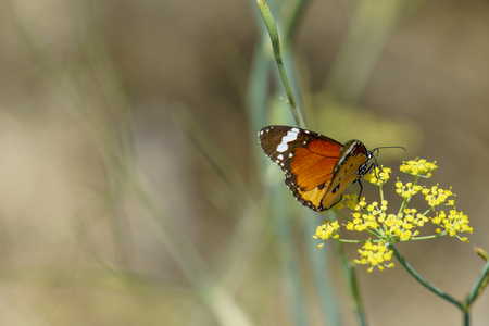 Red Admiral butterfly collecting nectar from wild yellow flowers. Stock Photo