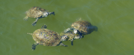 Small group of terrapins swimming in green water. Stock Photo