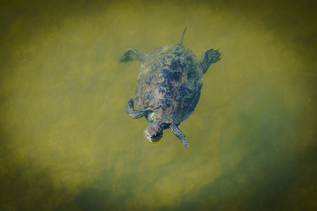 Single terrapin swimming in green water.