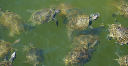 Large group of terrapins swimming in green water.
