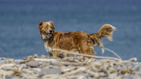 Golden brown dog walking on a pebbled beach on a windy day by the sea.