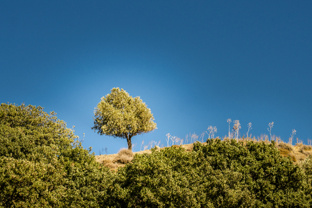 Single olive tree on a hill top in the greek countryside under a bright blue sky.