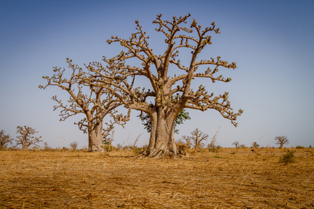 Massive baobab trees in the dry arid savanah of south west Senegal.