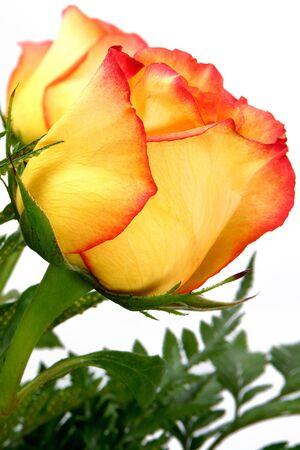 Cream and pink rose close up.