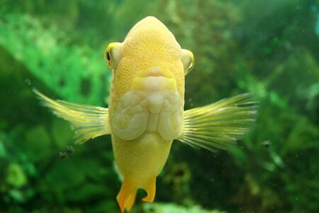 fish tank: Front view of gold fish in fishtank. Stock Photo