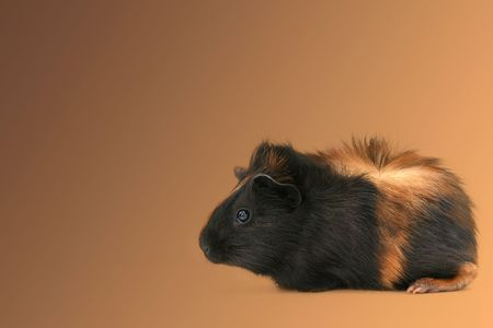 Small black and brown haired pet guinea pig named Dr. Fuzz.