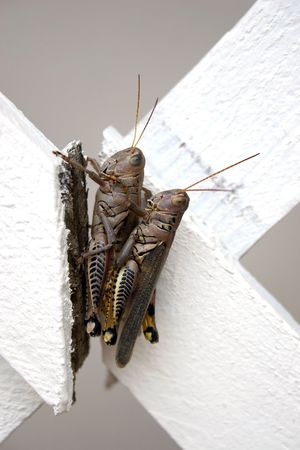 Two Locust in Piggy Back Position on broken white fence. photo