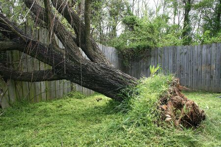 Large willow tree fallen into old wooden fence.
