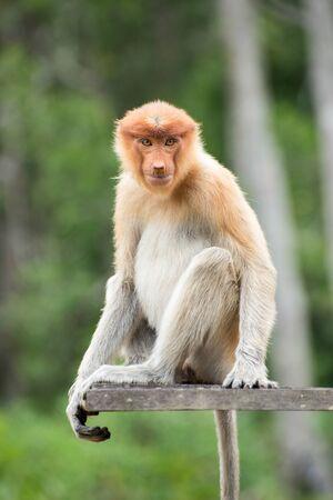 proboscis: Female proboscis monkey in Labuk Bay Proboscis Monkey Sanctuary Stock Photo