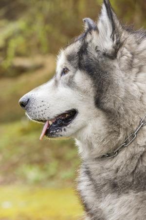 malamute: Alaskan Malamute in a park