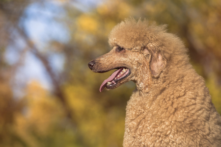Beautiful standard poodle portrait in the colorful autumn with leaves in the park