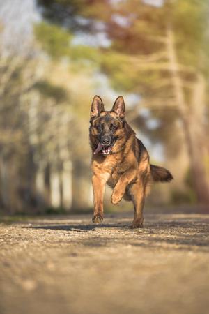 Portrait of a german shepherd running in the field. Vertical. Copyspace Stockfoto