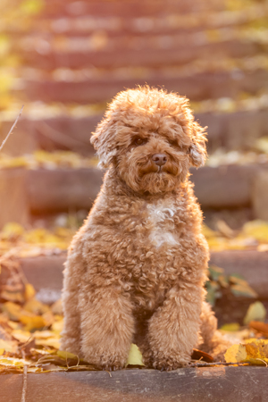 Apricot toy poodle portrait in autumn with leaves in the park. Vertical. Copyspace.
