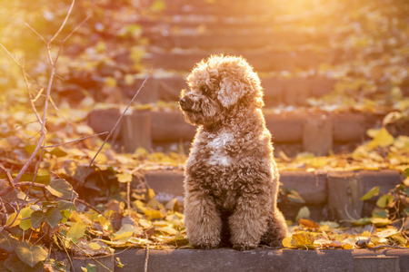 Apricot toy poodle portrait in autumn with leaves in the park. Horizontal.