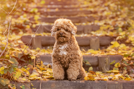 Apricot toy poodle portrait in autumn with leaves in the park. Horizontal. Copyspace. Stock Photo