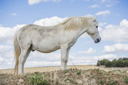 Portrait of a white pony horse with beautiful mane in nature. Horizontal. No people. Imagens