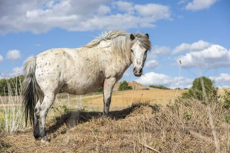 Portrait of an appaloosa pony horse with beautiful mane in nature, looking at camera. Blue sky with clouds. No people. Horizontal.