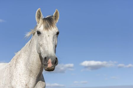 Portrait of a white grey horse looking at camera. Blue sky. Horizontal. No people. Copyspace.