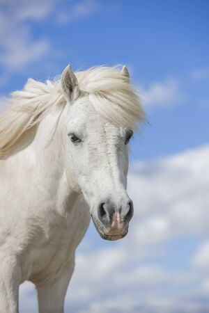 Portrait of a white pony horse with beautiful mane in nature. Blue sky with clouds. Vertical. Copyspace. No people.