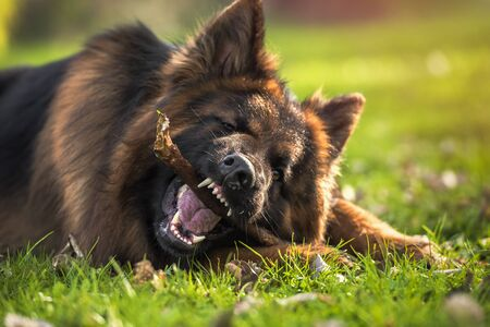 German shepherd dog lying down in the park biting a stick. Horizontal with copyspace