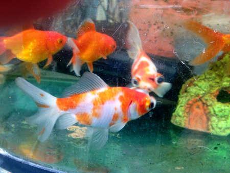 Aquarium, goudvis