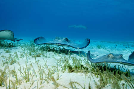 stealth: A group of stingrays patrol the grassy shallows of Grand Cayman like a wave of alien stealth bombers.