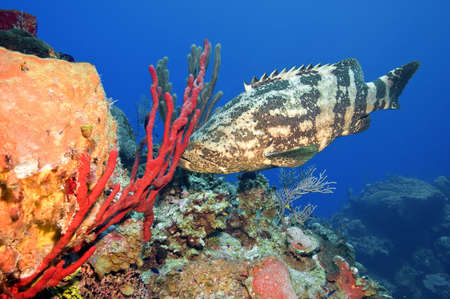 A goliath grouper tries to hide behind a bright red sponge.  Deep dive, shot off the Stock Photo - 8106511