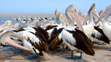 Australian pelicans preening. photo