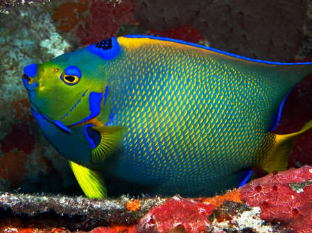 A vibrant Queen Angelfish against a background of red corals.