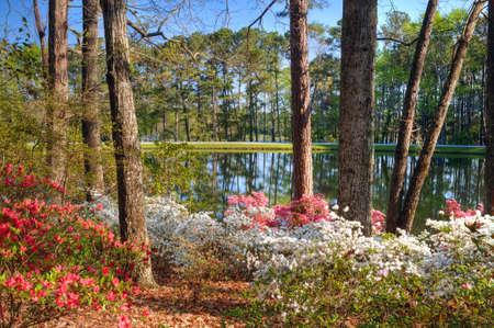 azaleas: Idyllic setting of tranquil lake at Callaway Gardens, GA, framed by azaleas in the foreground