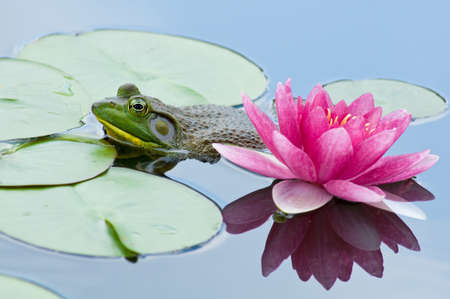 bullfrog: Bullfrog next to a pink water lily Stock Photo