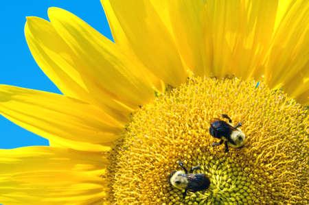 kwadrant: Sunflower quadrant with bees Zdjęcie Seryjne