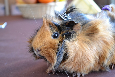 guinea: guinea pigs
