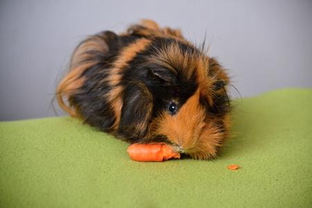 guinea: Guinea pig feeding with carrots
