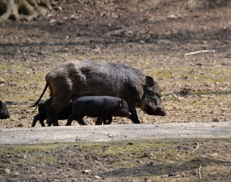 mire: Wild boar with young zoo in the park Piestany Slovakia March 28, 2016