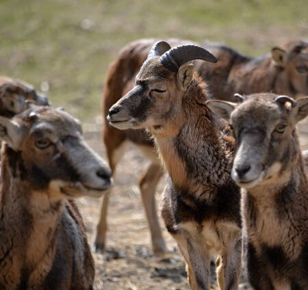 Group of mouflon in the zoo park Piestany Slovakia March 28, 2016 Stock Photo
