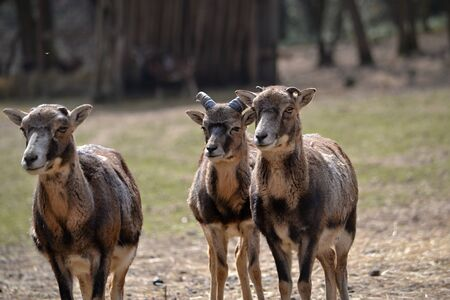 mouflon: Group of mouflon in the zoo park Piestany Slovakia March 28, 2016 Stock Photo