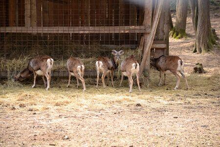 mouflon: Mouflon feeding on hay in the zoo park Piestany Slovakia March 28, 2016