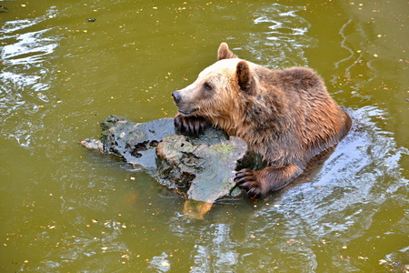 bole: Brown bear swims in the water with bole